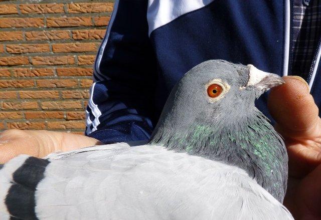 The distinctive head of 'Den Ad', best middle-distance pigeon of Belgium in 2013.