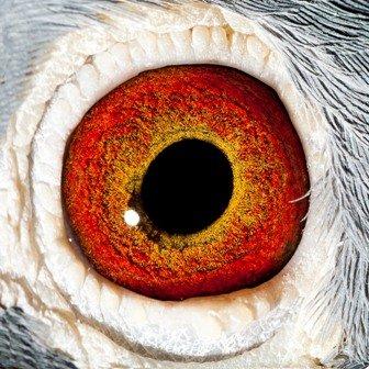 Eye photo of 'Caliph'...