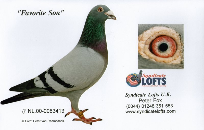 This is 'Favorite Son' bred by Joop Koch and father of the cock of the Geoffery Douglas 'Good Pair' responsible for over 100 firsts in four generations. He is also responsible for Geoffery's 1st NIPA Young Bird National from Rosscarbery with 'Foxy Jack' against 4399 birds in 2009. . 'Favorite Son' is also father to the mother of D.& J Armstrong's 'Too Hot To Handle' 1st NIPA Rosscarbery Young Bird National against 4136 birds in 2008. He is also father to the hen of Derek Woodwards 'Good Pair' responsible for more than 75 first prize winners in three generations... 'Favorite Son' is also father to our great racing cock 'The Wizard' winner of 1st National NPO Etampes against 17,707 birds in 2005... An absolutely Top Class breeder !