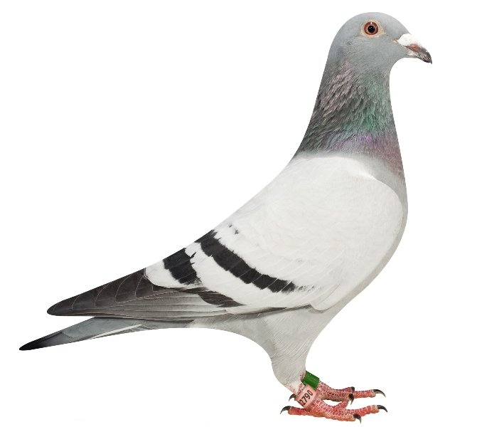 Danara flew a 2nd NPO Morlincourt against 16,971 pigeons as young, and won her NPO victory with a 1st in the race from Blois against 7,917 pigeons as yearling.