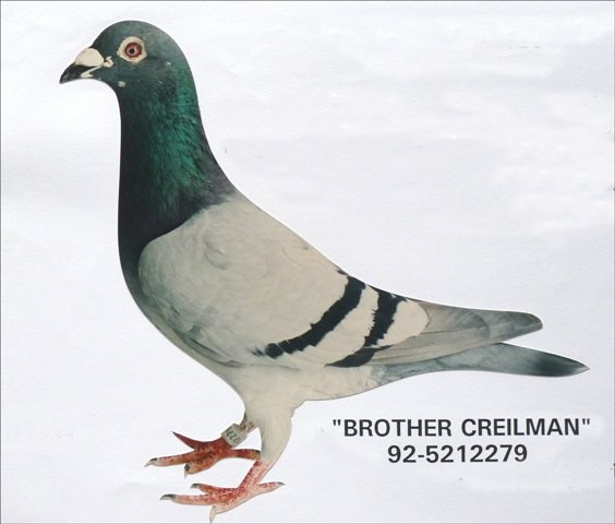 The first two pigeons born out of Mattens x Sissy were the 'Creilman' and his brother. Both flew 1st prizes in large competitions and their children proved to be top breeders.