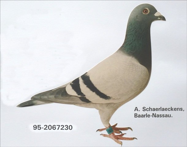 The 95-230 was the first pigeon of the super trio 'Ace Four', 'Supertje 144' and himself. He came out of the coupling Zoon Mattens-Sissy x Beauty 1. He was the smallest and least prominent of the trio, but his breeding achievements are phenomenal. He is among others father of the 'Limo' from Co Verbree from Putten, whom we will come back to extensively later.
