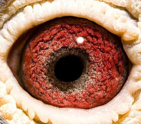 This eye belonged to the phenomenon 'Ko' (NL98-2331508), bought from Ad Schaerlaeckens by Falco Ebben in 1998. The 'Ko' came out of a daughter of the 'Creilman' and became father and grandfather of at least 25 first prize winners, among which several NPO winners.