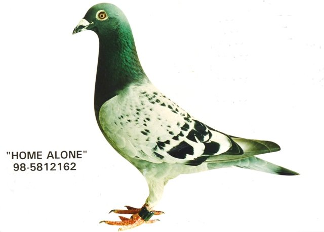 The unforgettable super pigeon 'Home Alone'...