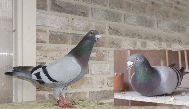 Combination photo of the 'Alessandro' and his best son 'Sprint'. Despite his age of 14 years, the 'Alessandro' still looks in perfect health. However, he is not fertile anymore and may live out the rest of his life in the compartment for the elderly pigeons of Bas and Gerard Verkerk. The 'Sprint' was a crack in the races. Especially in hot weather and with a head wind, nobody could keep up with him...
