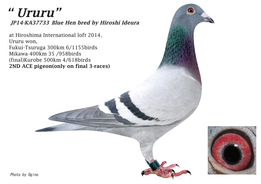 'Ururu' winner of 2nd Ace Pigeon Hiroshima One Loft Race , Japan 2014.