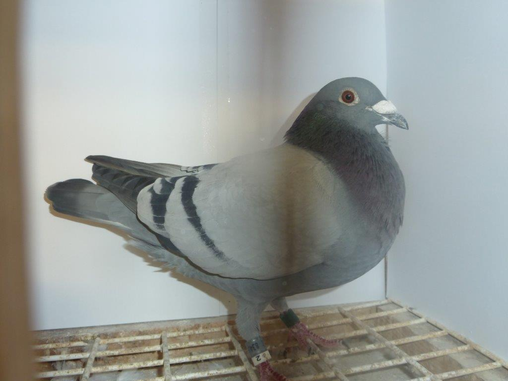 This is 'Chip Shop Pete' winner of 1st Chester and District Two Bird Championship Club from Carentan...
