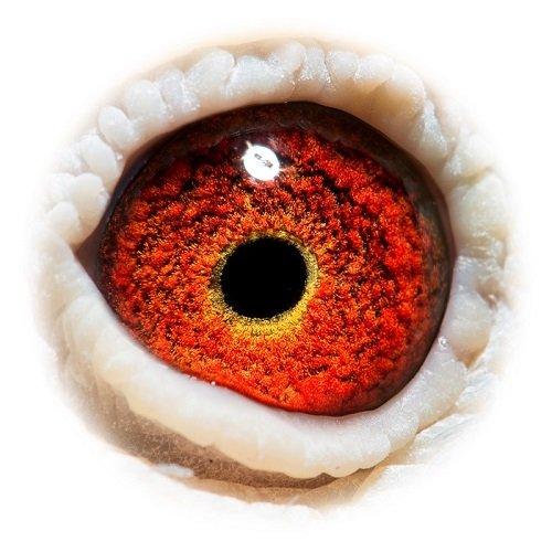 Eye shot of 'War Drum'