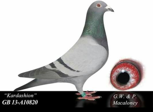 'Kardashion' bred by Syndicate Lofts and owned by The Macaloney Family . She is the mother of 1st Lanarks Fed Sedgewick 4,368 birds.