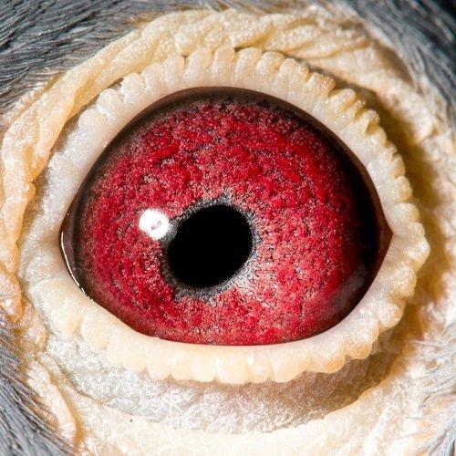 Eye shot of Amadeus...