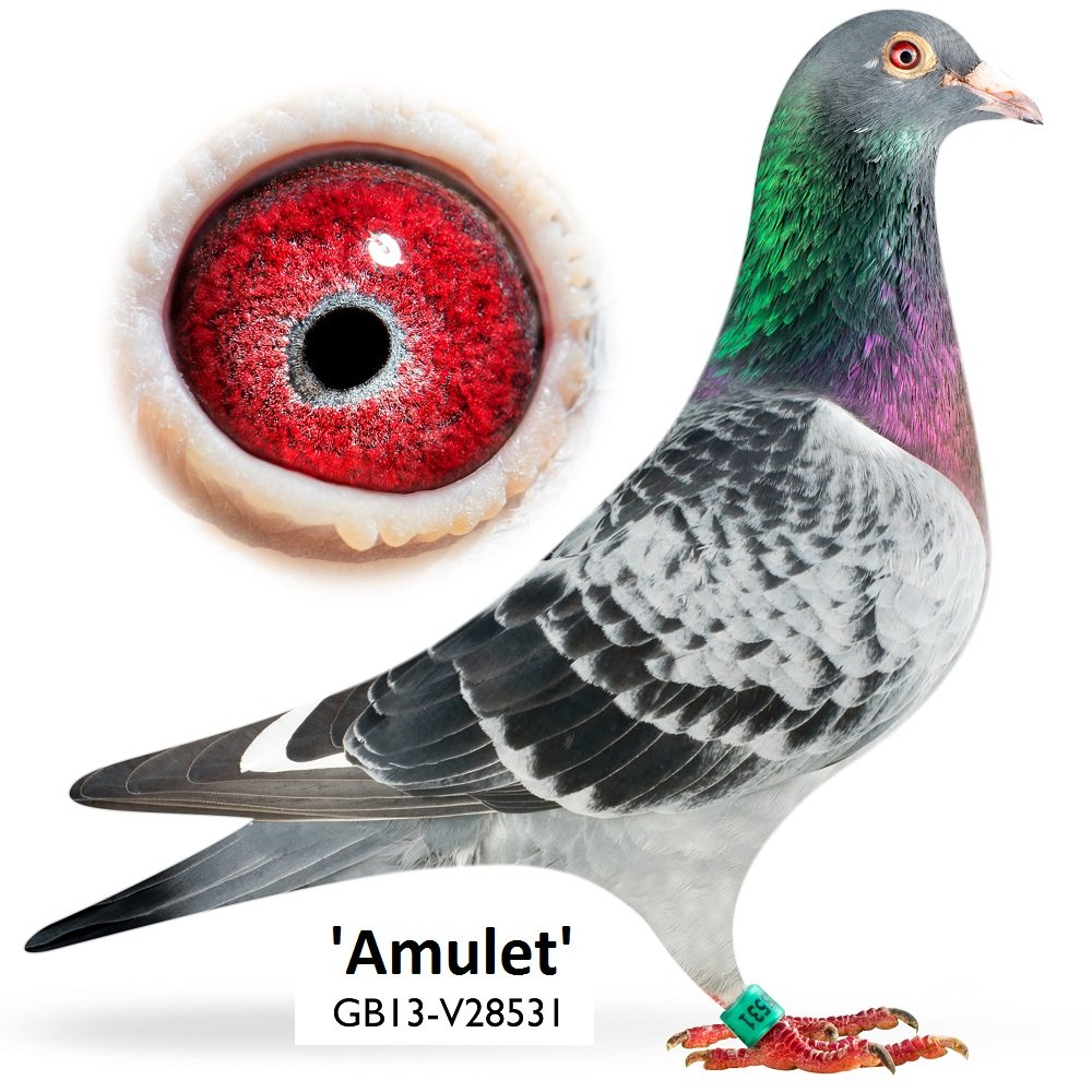 This is Amulet a very promising young talent in our breeding loft...he is a son of our original famous breeders 'Hannibal'...